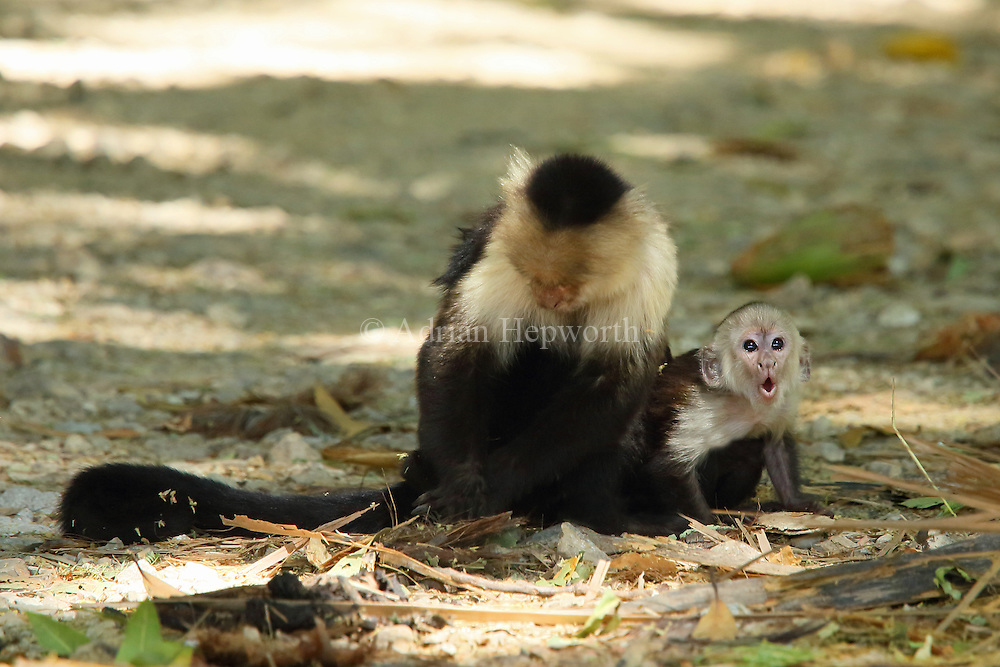 Female white-faced capuchin monkey (cebus capucinus) with baby. On a road in tropical dry forest, Palo Verde National Park, Guanacaste, Costa Rica.