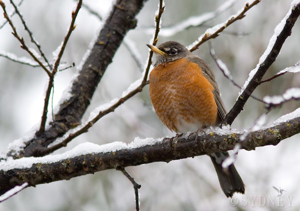 Robin on snowy branch