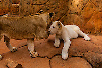 4 month old lion cub and 2 month old white lion cub, Lion Park, near Johannesburg, South Africa.