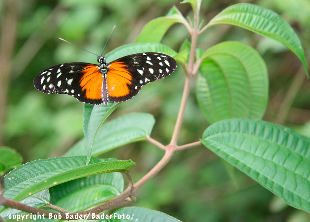 Five-Spotted Heliconian Butterfly in Costa rica's Arenal