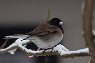 "A male ""Oregon"" Dark-eyed Junco (Junco hyemalis) in winter snow, Seattle, Washington"