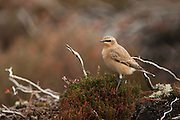 Northern wheatear on a clump of heather alongside the Farr road to Strathdearn.