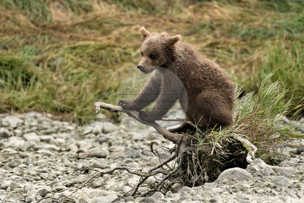 A brown bear spring cub plays on a branch at the McNeil River State Game Sanctuary on the Kenai Peninsula, Alaska. The remote site is accessed only with a special permit and is the world's largest seasonal population of wild brown bears in their natural environment.