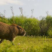 South America, Uruguay, Rocha, Parque Nacional Santa Teresa, Estacion Biologica Potrerillo de Santa Teresa, capybara, Hydrocoerus hydrochaeris, carpincho, adult, male