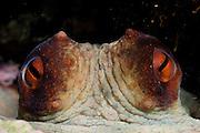 Octopus (Octopus vulgaris) [size of single organism: 50 cm] (Octopoda)   Gewöhnlicher Krake