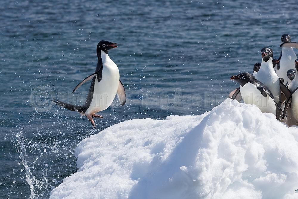Adélie penguin (Pygoscelis adeliae) jumping from the sea to a iceflow | Adeliepingvin som hopper fra sjøen og opp på et isflak.