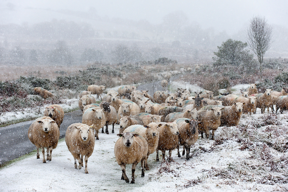© Licensed to London News Pictures. 12/01/2017. Builth Wells, Powys, Wales, UK. Sheep wait forthe farmer to bring food in the blizzard on the high moorland near Builth Wells in Powys, Mid Wales, UK. Photo credit: Graham M. Lawrence/LNP