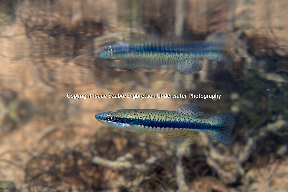 Blackspotted Topminnow<br />
