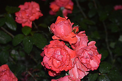 June 14, 2017 - Ankara, Turkey - Roses are pictured during heavy rain in Ankara, Turkey on June 14, 2017. (Credit Image: © Altan Gocher/NurPhoto via ZUMA Press)