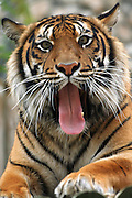 Sumatran tiger (Panthera tigris sumatrae) Close up of face mouth open