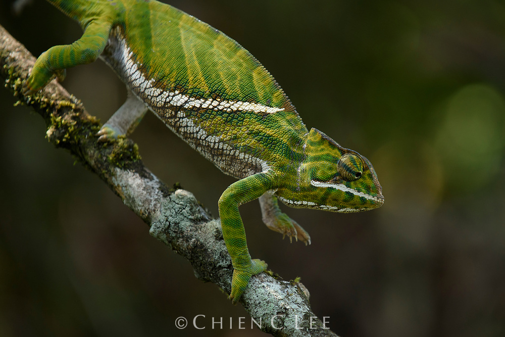 Two-banded Chameleon (Furcifer balteatus), female. Ranomafana National Park, Madagascar.