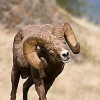 Bighorn Sheep wild rocky mountain big horn sheep
