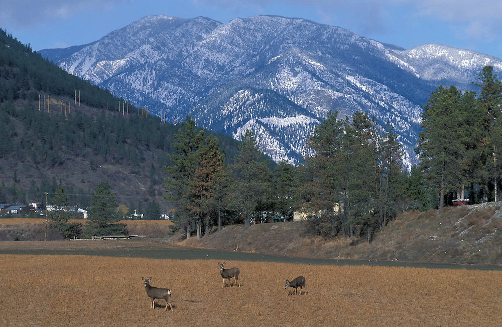 Mule Deer near Lillooet, British Columbia, Canada