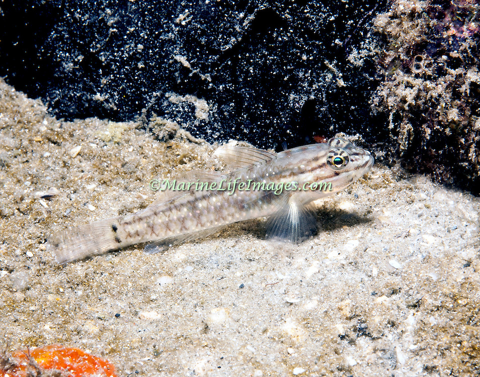 Bridled Goby inhabit shallow sand and rubble areas, often near shore and patch reefs in Tropical West Atlantic; picture taken Blue Heron Bridge, Palm Beach, FL .