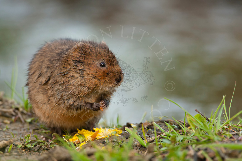 Water Vole (Arvicola terrestris) adult on bank of stream, Norfolk, UK.