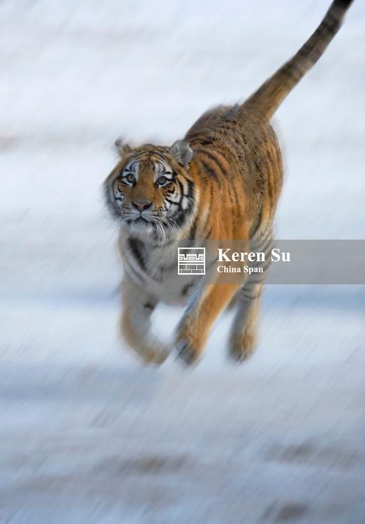 Siberian tiger running on snow, Heilongjiang, China