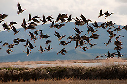 California: White fronted geese at Lower Klamath Refuge in California.  Photo copyright Lee Foster california117627.