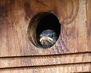 """This hatchling House Sparrow stares at me as if to say """"hey, camera guy, where's the buffet?"""" It wasn't long before his mom arrived with the next course."""