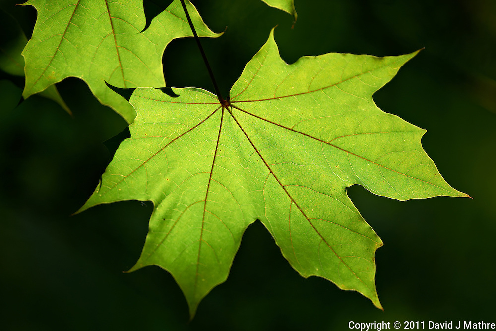 Backlit Maple Leaf. Backyard Nature in New Jersey.. Image taken with a Nikon D3x and 500 mm f/4 lens (ISO 125, 500 mm, f/4, 1/500 sec) handheld. Image processed with Capture One 6 Pro, Focus Magic, and Photoshop CS5.