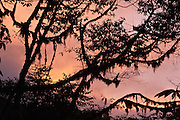 At sunset, pink clouds silhouette branches draped with moss and lichen in Bellavista Cloud Forest Reserve, near Quito, Ecuador, South America.
