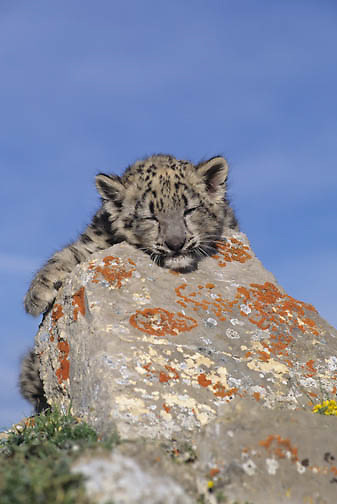 Snow Leopard (Panthera uncia) portrait of a young cub.  Captive Animal.