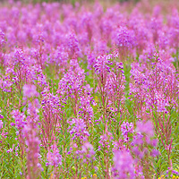 Field of beautiful pink fireweed, in full bloom. Glacier Bay National Park, Gustavus, Alaska