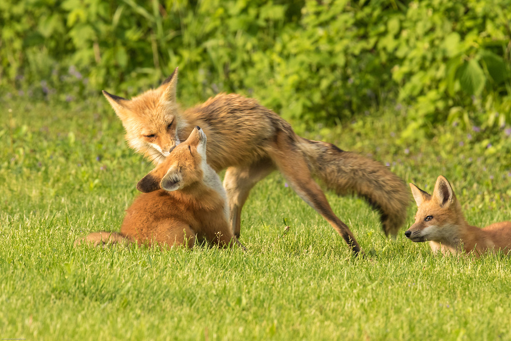 Mother fox grooming her kit.