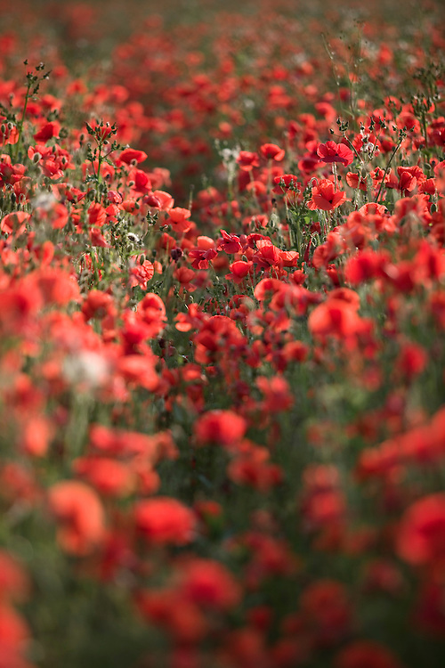 Common Poppies (Papaver rhoeas)