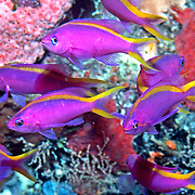 Purple Anthais inhabit reefs. Photographed Raja Ampat, Indonesia.