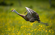 A Sandhill Crane takes flight from a Canadian prairie.