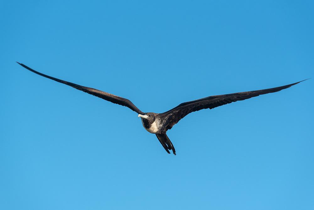 Magnificant frigatebird flying over the coast of Santa Cruz Island, Galapagos Islands, Ecuador.