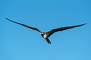 Magnificant frigatebird flying over the coast of Santa Cruz Island, Galapagos Islands, Ecuador.