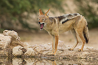 Black Backed Jackal yawning, Kgalagadi Transfrontier Park, Northern Cape, South Africa