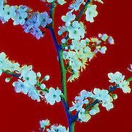 Blossom on Red in the Japanese style