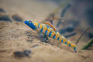 Bluemask Darter<br />