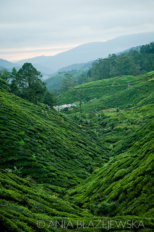 Malaysia. Green slopes of tea fields in Cameron Highlands, Boh Tea Estate.