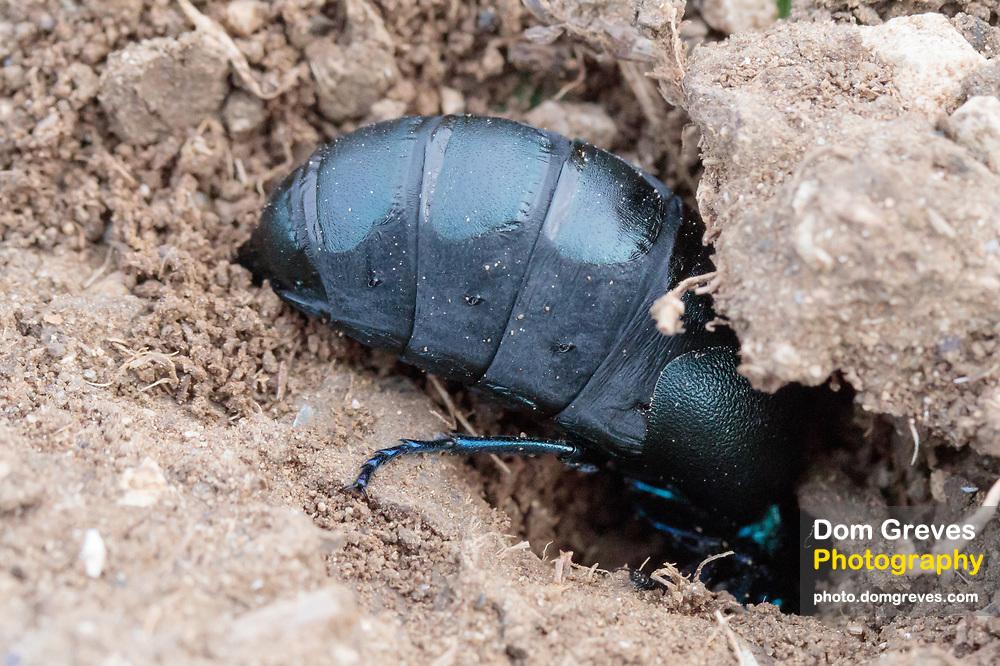Oil beetle (Meloe proscarabaeus) female excavating nest burrow. Dorset, UK.