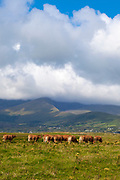Limousin cattle, Fermoyle Beach and Mount Brandon, on the Dingle Peninsula, Ireland,