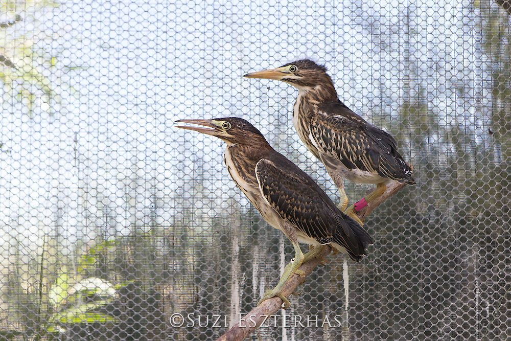 Green Heron<br /> Butorides virescens<br /> In outdoor aviary, ready for release<br /> International Bird Rescue, Fairfield, CA