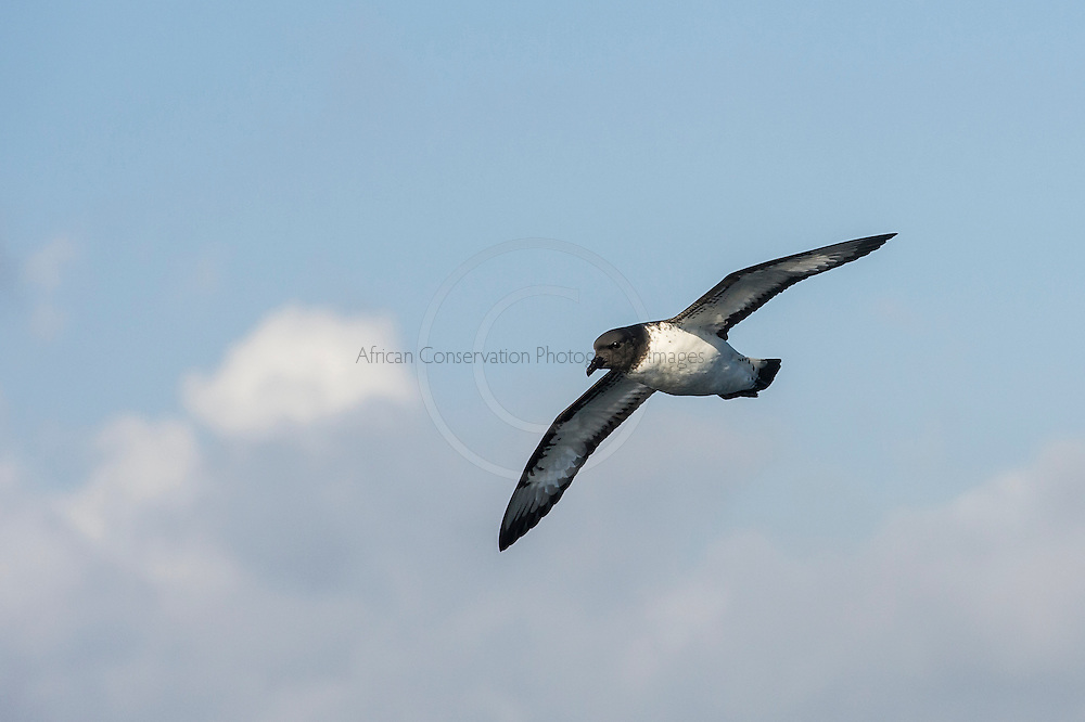 The Cape Petrel, alternatively known as the Pintado Petrel, in flight, Cape Canyon Trawl Grounds, South Africa