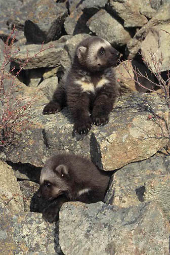 Wolverine, (Gulo gulo) Young kits near den. Early spring. Rocky mountains. Montana.  Captive Animal.
