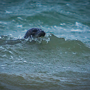 Seal riding storm waves in Puget Sound - Browns Point, Tacoma, WA