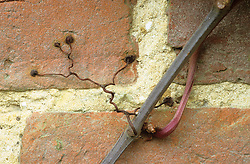 The sticky pads of virginia creeper ( Parthenocissus ) showing how it clings to a wall