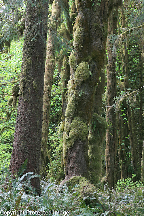 Nature reclaiming itself in Olympic National Park.