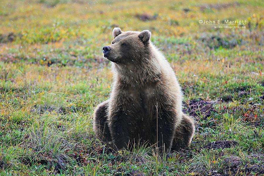 Grizzly bear, Yukon, Canada
