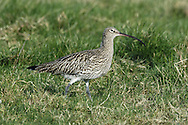 Curlew Numenius arquata L 53-58cm. Large, distinctive wader with a long, downcurved bill. Call is evocative of lonely, windswept uplands during spring and summer, and coasts in winter. Sexes are similar although male has shorter bill than female. Adult has mainly grey-brown plumage, streaked and spotted on neck and underparts; belly is rather pale. Juvenile is similar but it looks overall more buffish brown, with fine streaks on neck and breast and appreciably shorter bill. Voice Utters a characteristic curlew call and bubbling song on breeding grounds. Status Locally common breeding species on N and upland habitats. Almost exclusively coastal outside breeding season.
