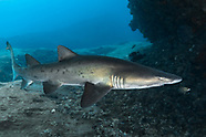 Sand tiger shark (Carcharias taurus) - South Africa