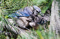 Mother Blue Jay (Cyanocitta cristata) and her baby chicks.