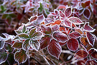 Frozen leafs - close up