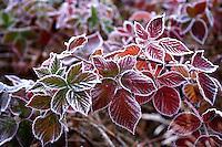 Frozen leafs - close up
